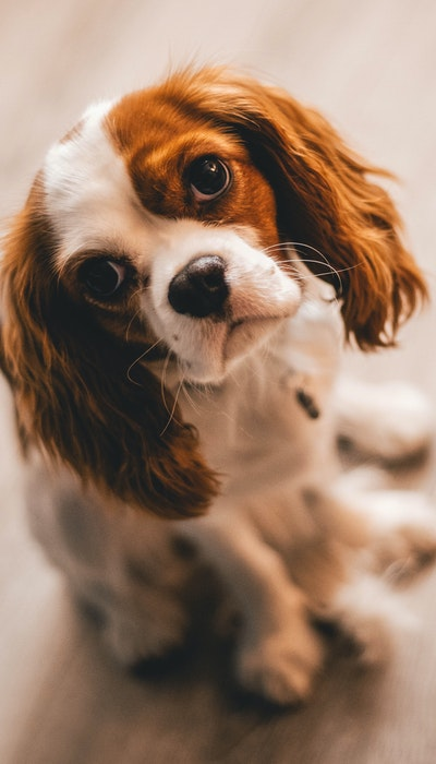 Cavalier King Charles dog sitting looking up