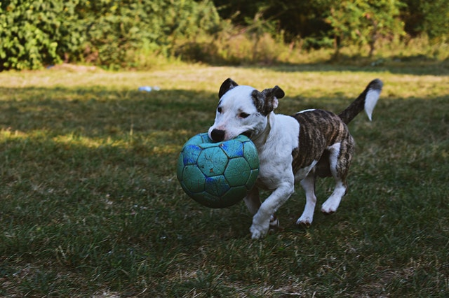 Jack Russell fetches the green football ball