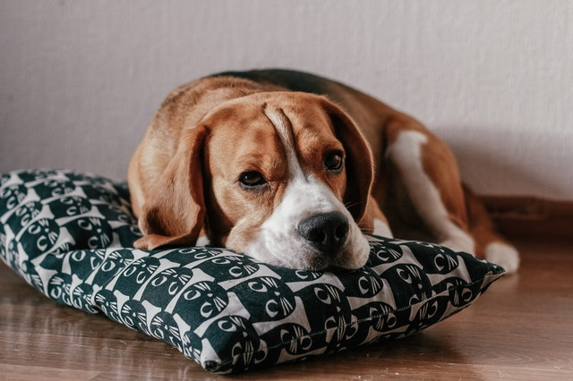 beagle dog lying on the pillow on the floor