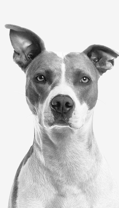 black & white image of a dogs face with one ear raised