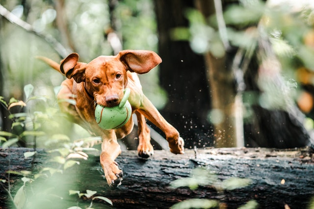 brown dog jumping with the green ball in its jaw