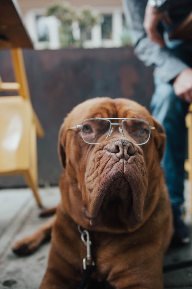 brown dog with glasses lying indoor