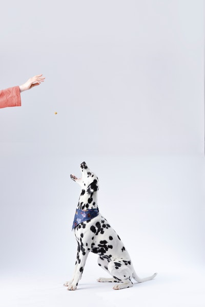 Dalmatian dog sitting and opening its jaws to take the treat