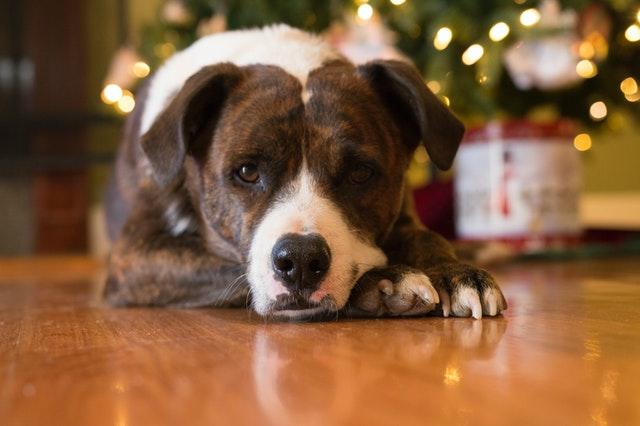 dog lying next to the christmas three