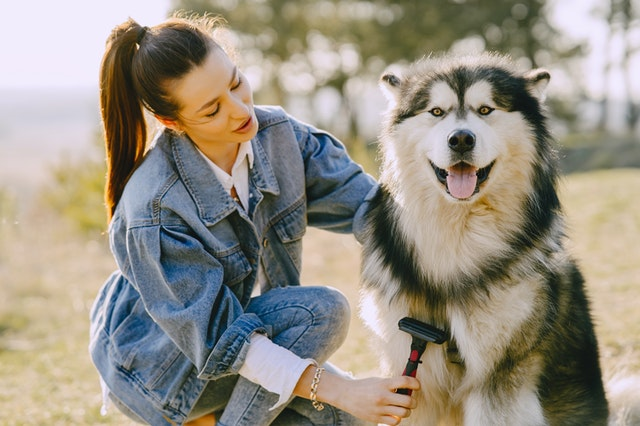 dog malamute groomed by a woman